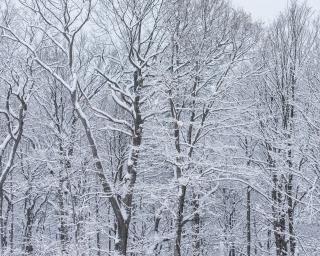 Snowy hardwood trees in forest